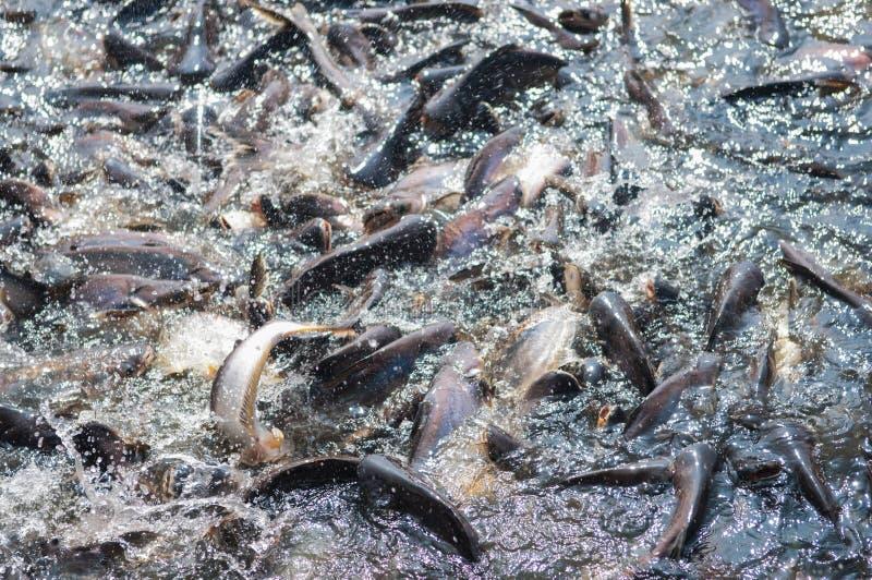 Pescados iridiscentes de los pescados o de Sawai del tiburón fotografía de archivo libre de regalías
