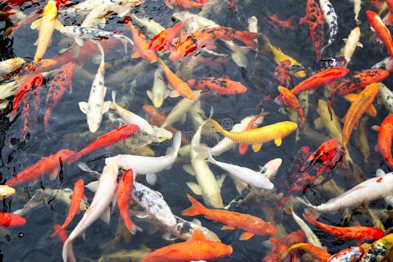 Pescados japoneses del koi fotos de archivo