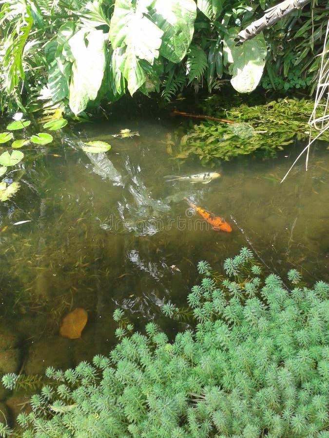 Pescados japoneses en el jardín japonés UCR Costa Rica imagenes de archivo