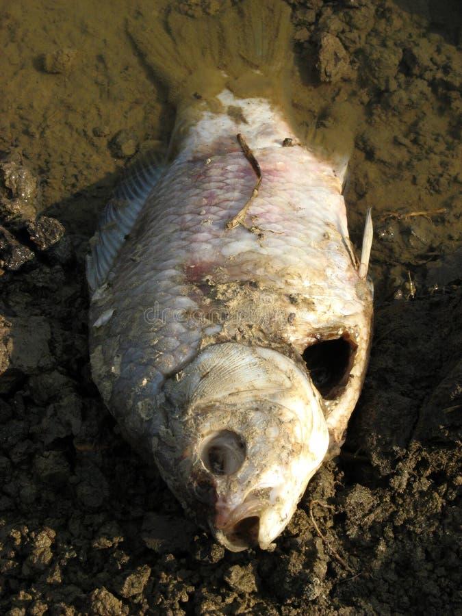 Pescados muertos imagen de archivo libre de regalías