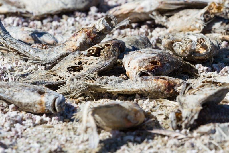 Pescados muertos en el mar de Salton fotografía de archivo libre de regalías