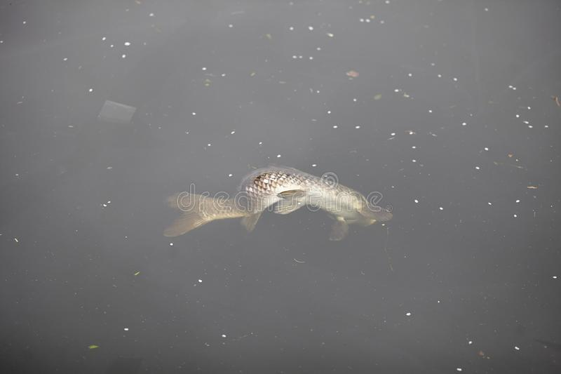 Pescados muertos en un río contaminado fotos de archivo