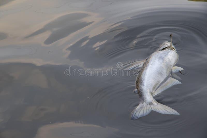 Pescados muertos que flotan en el fondo de las aguas residuales imagen de archivo libre de regalías