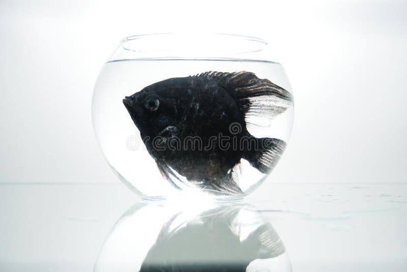 Download Pescados negros en acuario imagen de archivo. Imagen de animal - 7281589