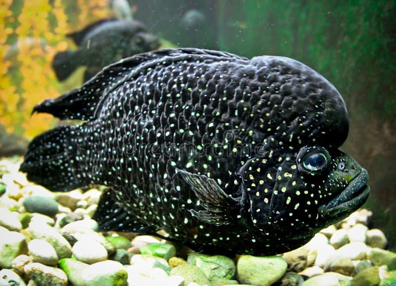 Pescados negros gigantes fotos de archivo