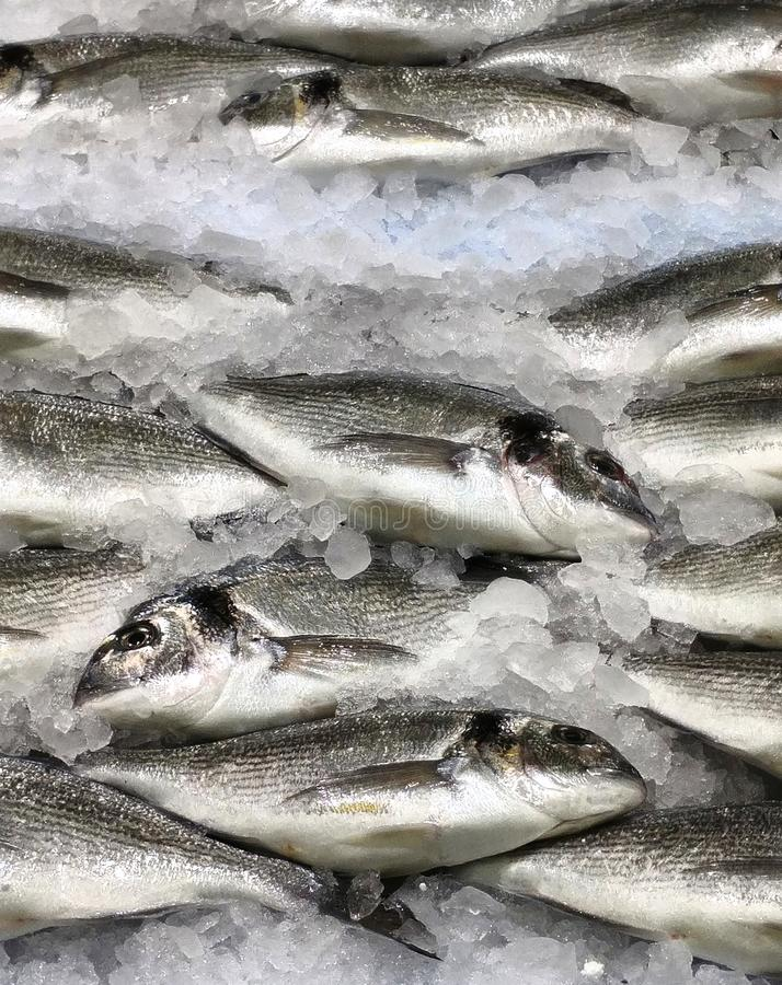 Pescados principales de la cerda joven en el hielo fotografía de archivo