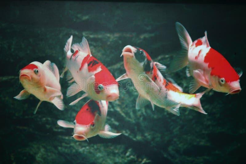 5 pescados propicios foto de archivo