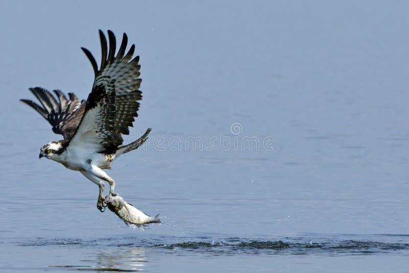 Pescados que llevan del Osprey imagen de archivo libre de regalías