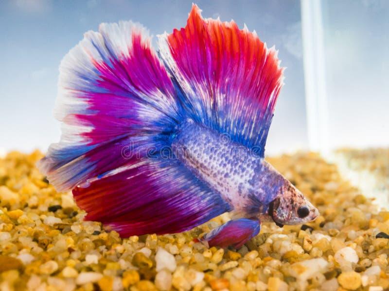 Pescados que luchan siameses hermosos con la natación roja y azul grande de la cola del color en un acuario imágenes de archivo libres de regalías