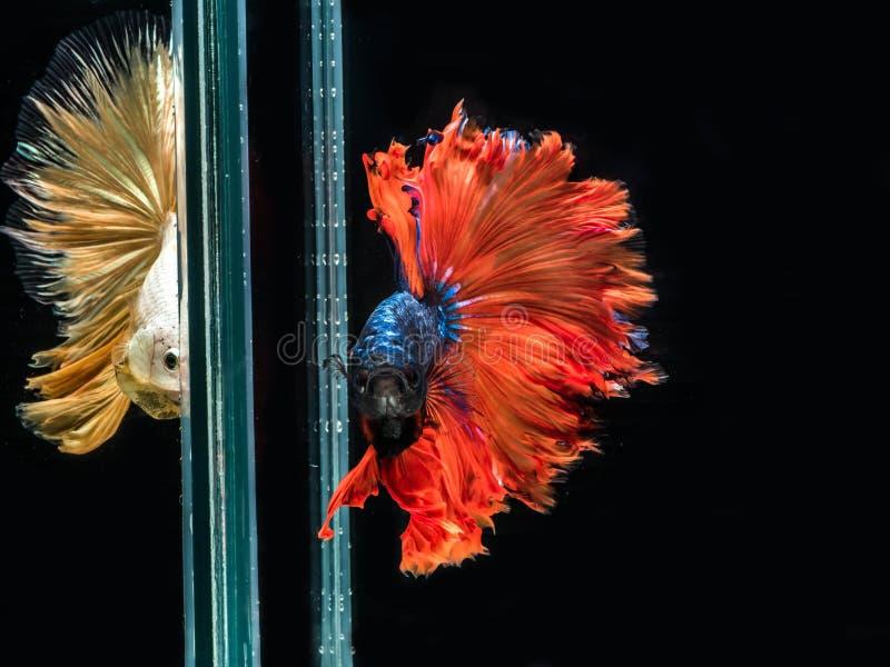 Pescados que luchan siameses, movimiento de los pescados que luchan siameses del color multi aislados en fondo negro imagenes de archivo