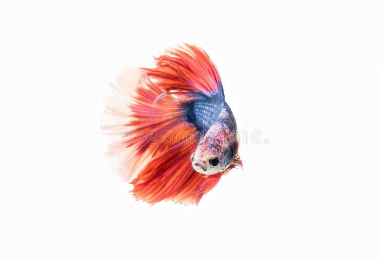 Pescados que luchan siameses Rojo-azules, pescados del betta aislados en el CCB blanco fotografía de archivo