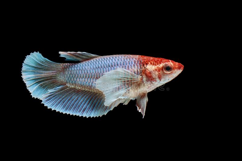 Pescados que luchan siameses, splendens de Betta, pescados coloridos en un fondo negro, media luna Betta imagen de archivo libre de regalías