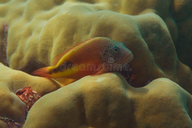 Pescados que ocultan en coral del clavus de Pavona imagen de archivo