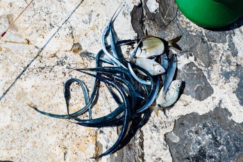 pescados recién pescados en el mar Mediterráneo con la aguja y fotos de archivo libres de regalías
