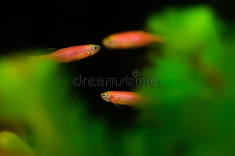 Pescados rojos de la cebra fotos de archivo