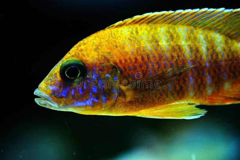 Pescados rojos del acuario de Rubin del aulonocara del cichlid de Malawi fotografía de archivo