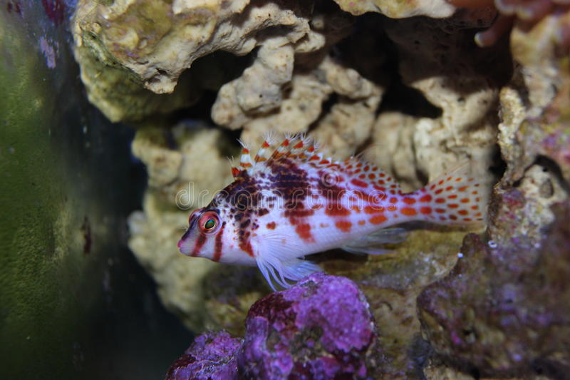 Pescados rojos en acuario marino fotos de archivo libres de regalías