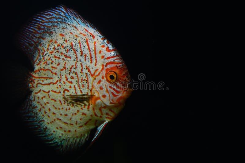 Pescados rojos y blancos del disco en el acuario oscuro foto de archivo libre de regalías