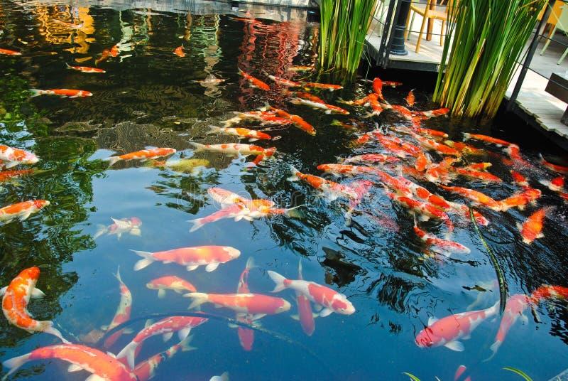 Pescados rojos y blancos del koi en una charca foto de archivo