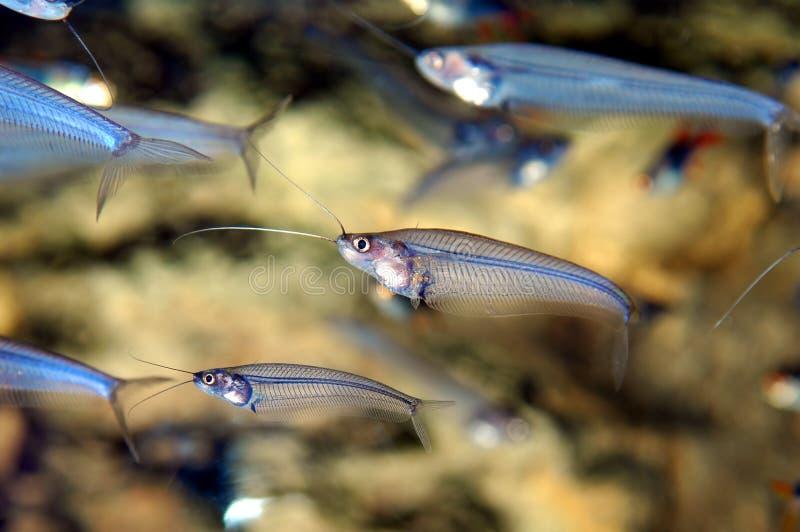 Pescados See-through fotos de archivo libres de regalías