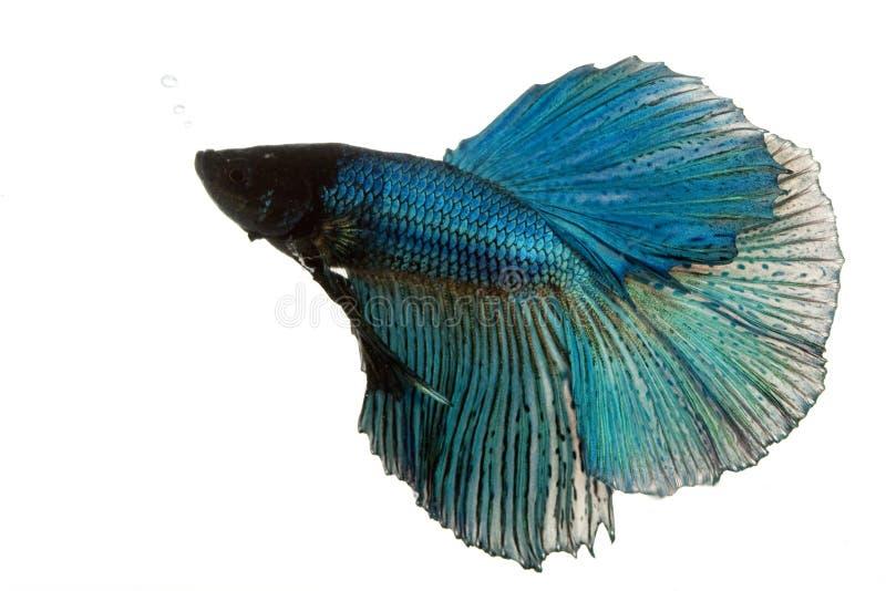 Pescados siameses azules de la lucha fotos de archivo libres de regalías