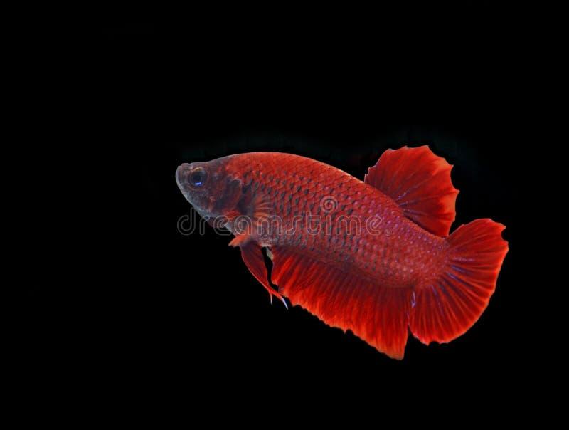 Download Pescados Siameses De La Lucha Imagen de archivo - Imagen de acción, criatura: 44858117