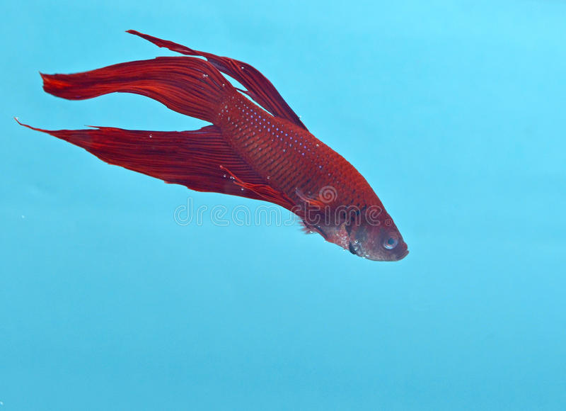 Download Pescados Siameses De La Lucha Imagen de archivo - Imagen de rojo, frailty: 44858241