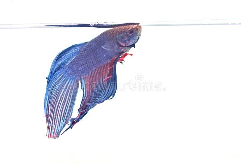 Download Pescados Siameses De La Lucha Imagen de archivo - Imagen de carrocería, betta: 44858365