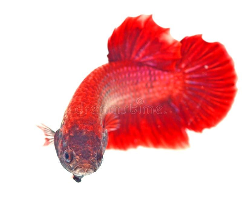 Download Pescados Siameses De La Lucha Imagen de archivo - Imagen de exótico, fishbowl: 44858405
