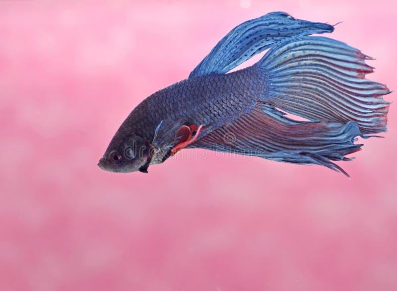 Download Pescados Siameses De La Lucha Imagen de archivo - Imagen de carrocería, animal: 44858441