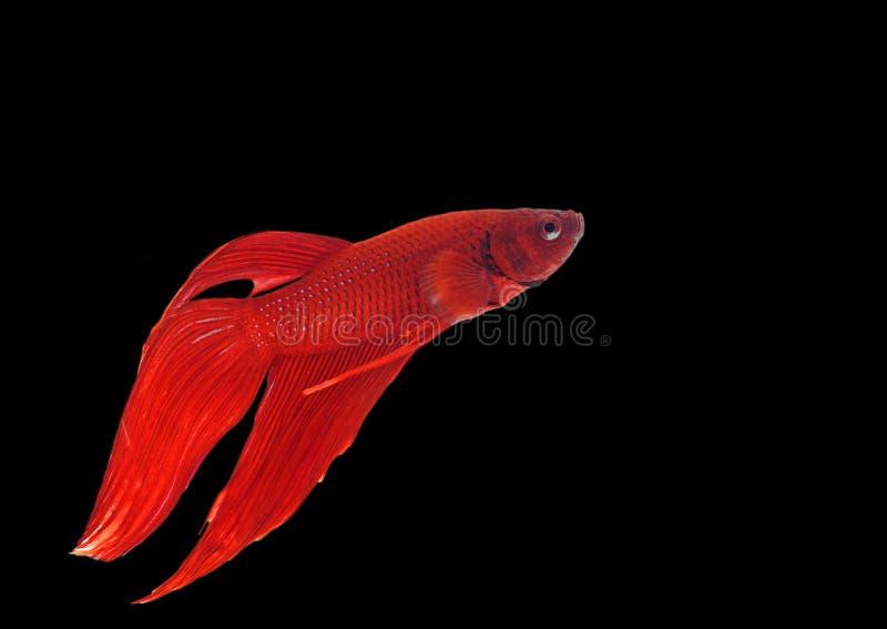Download Pescados Siameses De La Lucha Foto de archivo - Imagen de aislado, alineada: 44858496