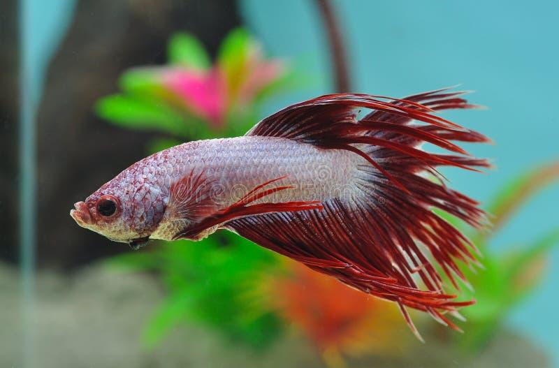 Download Pescados Siameses De La Lucha Foto de archivo - Imagen de biología, acuario: 44858578