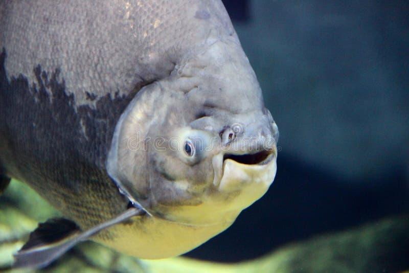 Pescados sonrientes en el acuario foto de archivo libre de regalías
