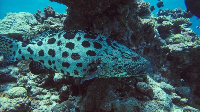 Pescados submarinos, Papua Niugini, Indonesia del mero de Malabar foto de archivo libre de regalías