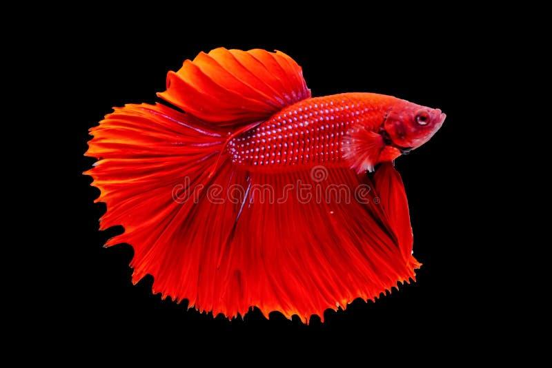 Pescados tailandeses coloridos del betta, betta rojo, pescado agrietado en un fondo negro foto de archivo libre de regalías