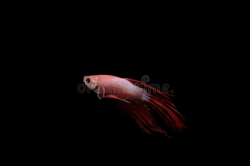 Pescados tailandeses del betta en cuerpo rojo y blanco en un fondo negro fotos de archivo libres de regalías