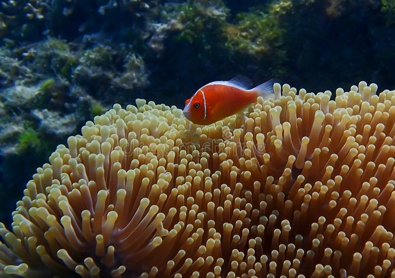 Pescados tropicales anaranjados brillantes sobre anémona grande con el arrecife de coral imagen de archivo