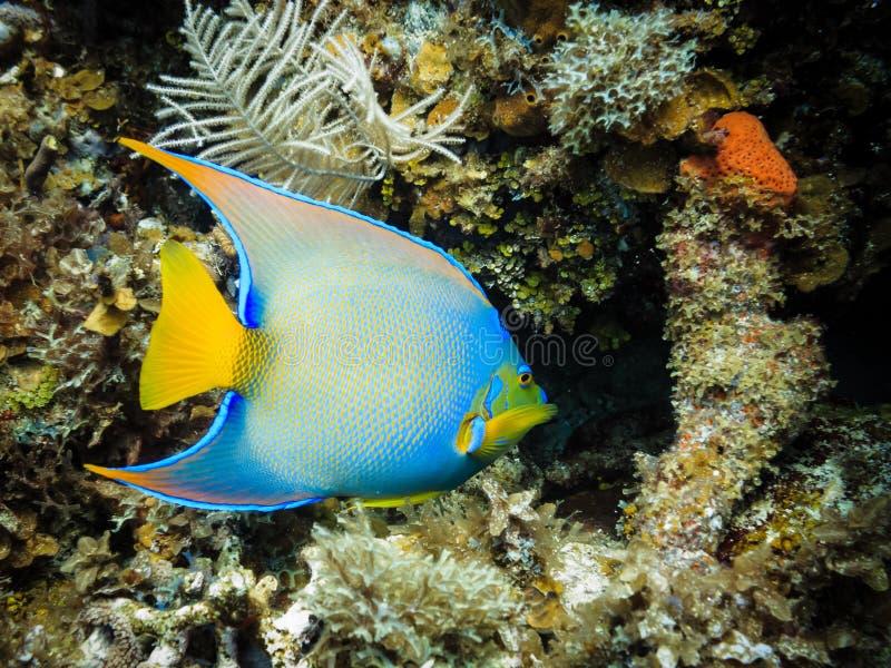 Pescados tropicales azules del ángel de la reina en el filón coralino foto de archivo