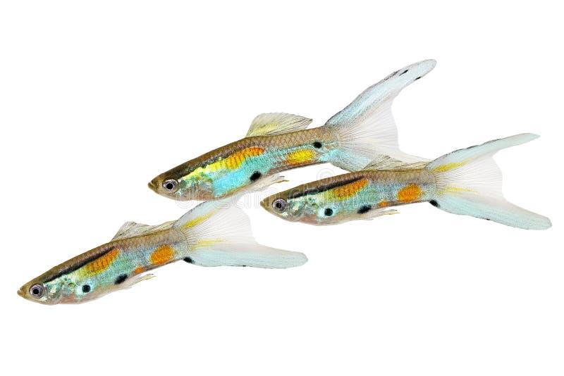 Pescados tropicales coloridos del acuario de Endler del Guppy del doble de Swordtail de los Guppies del wingei masculino de neón  imagen de archivo