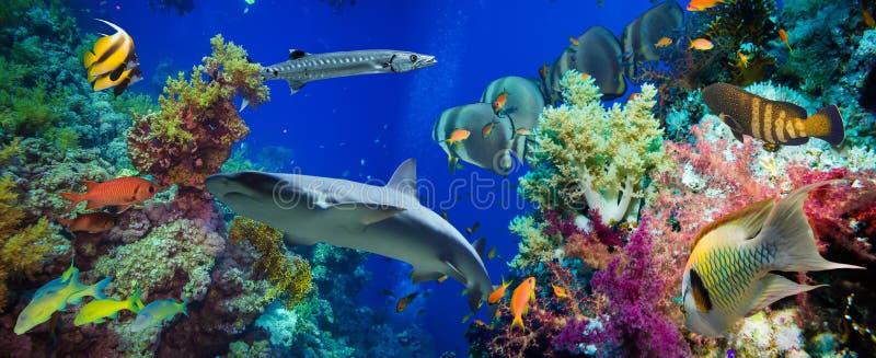 Pescados tropicales de Anthias con los corales netos del fuego y tiburón imagenes de archivo