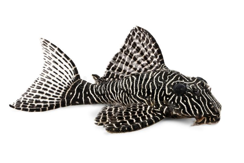 Pescados tropicales del acuario del duplicareus de Corydoras del siluro de Cory foto de archivo libre de regalías