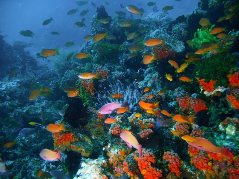Pescados tropicales del filón coralino imagenes de archivo