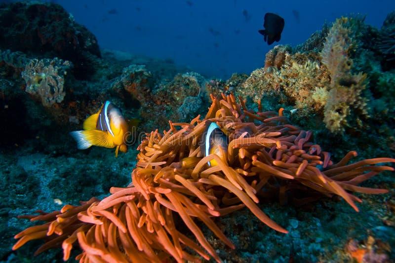 Pescados tropicales del payaso foto de archivo
