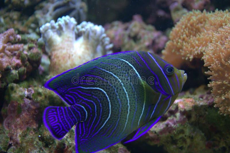 Pescados tropicales eliminados azules fotografía de archivo libre de regalías