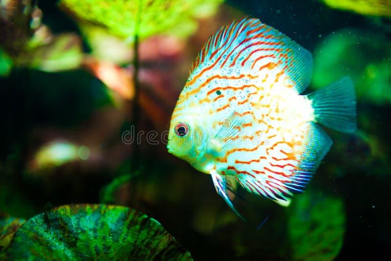Pescados tropicales rojos del disco de Symphysodon imagenes de archivo