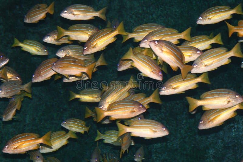 Pescados tropicales, Tailandia. fotografía de archivo