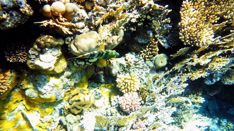 Pescados tropicales y arrecife de coral colorido subacuáticos imagen de archivo libre de regalías