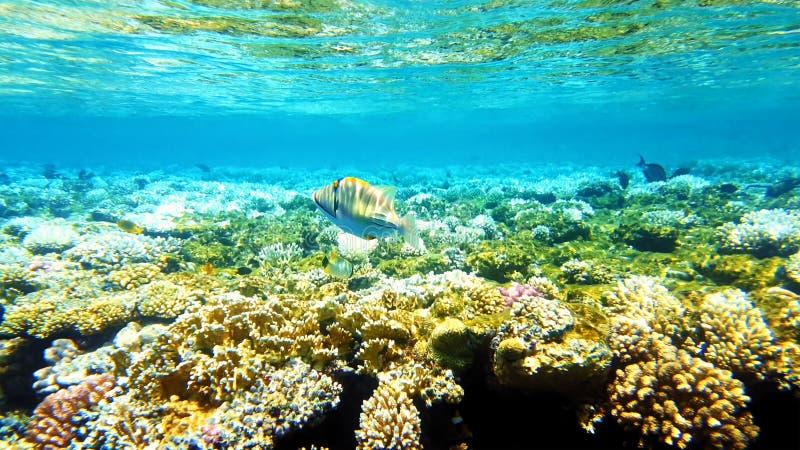 Pescados tropicales y arrecife de coral colorido subacuáticos foto de archivo