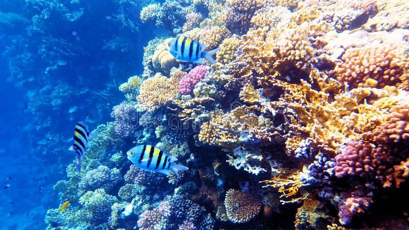 Pescados tropicales y arrecife de coral colorido subacuáticos fotografía de archivo