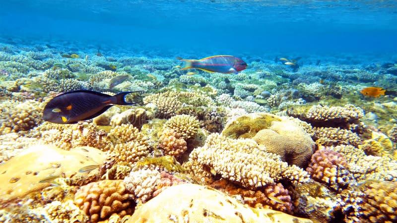 Pescados tropicales y arrecife de coral colorido subacuáticos foto de archivo libre de regalías
